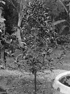 Coffee Tree, Jamaica, C1905 by Adolphe & Son Duperly
