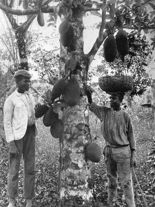 Jackfruit, Jamaica, C1905 by Adolphe & Son Duperly