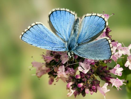 Adonis Blue Male Feeding on Marjoram, Oxfordshire, England, UK-Andy Sands-Photographic Print