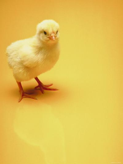 Adorable Baby Chick Standing on Yellow Background--Photographic Print