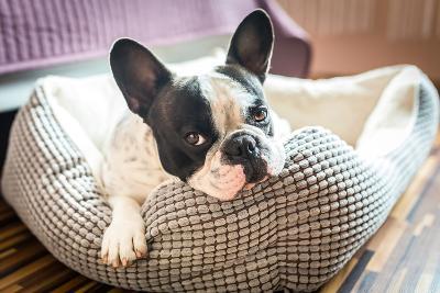 Adorable French Bulldog on the Lair-Patryk Kosmider-Photographic Print