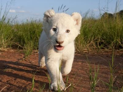 Adorable Portrait of a White Lion Cub Walking and Smiling with Direct Eye Contact.-Karine Aigner-Photographic Print