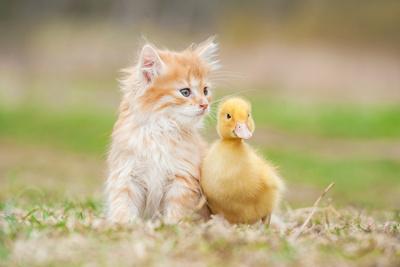 Adorable Red Kitten with Little Duckling-Grigorita Ko-Photographic Print