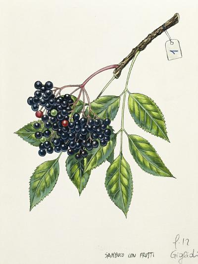 Adoxaceae--Giclee Print