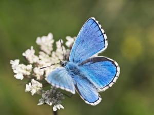 Adonis Blue Butterfly by Adrian Bicker