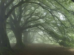 Ancient Beech Woodland by Adrian Bicker