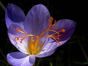 Autumn Crocus (Crocus Speciosus) Flower by Adrian Bicker