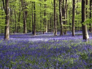Bluebells In Woodland by Adrian Bicker