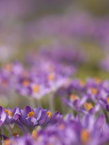Drifts of Crocuses Naturalised In Grass by Adrian Bicker