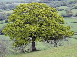 English Oak (Quercus Robur) by Adrian Bicker