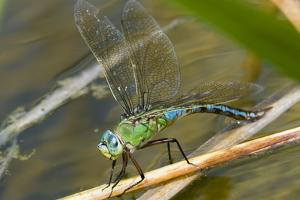 Female Emperor Dragonfly by Adrian Bicker