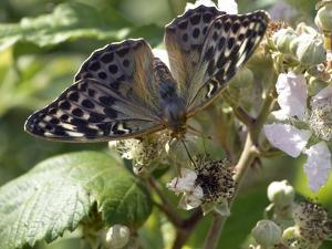 Female Silver-washed Fritillary Butterfly by Adrian Bicker