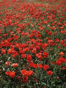 Field of Red Poppies by Adrian Bicker