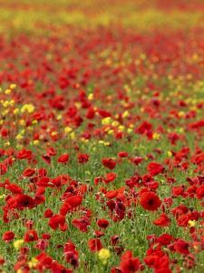 Field Poppy (Papaver Rhoeas) by Adrian Bicker