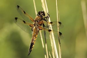 Four-spotted Chaser Dragonfly by Adrian Bicker