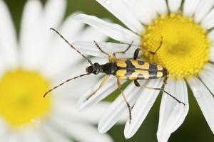 Longhorn Beetle by Adrian Bicker