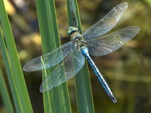Male Emperor Dragonfly by Adrian Bicker
