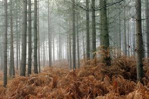 Pine Forest by Adrian Bicker