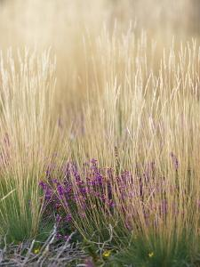 Purple Moor Grass (Molinia Caerulea) by Adrian Bicker