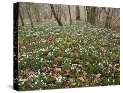 Snowdrops (Galanthus) In Woodland