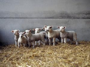 Lambs in Barn by Adrian Burke
