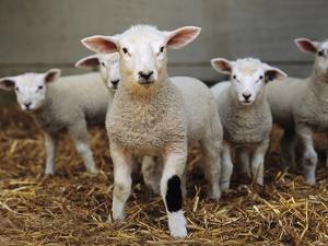 Lambs by Adrian Burke
