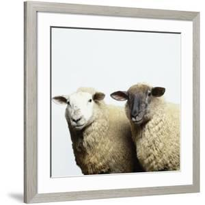Sheep Standing Side by Side by Adrian Burke