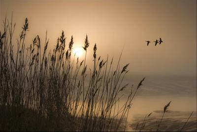 Three Mallard Ducks by Adrian Campfield