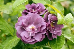 Rose (Rosa 'Rhapsody In Blue') by Adrian Thomas