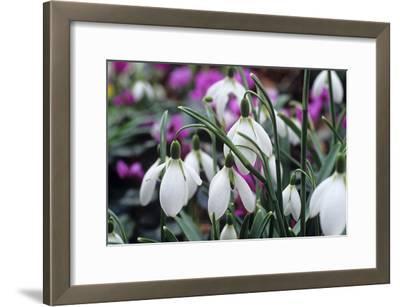 Snowdrop 'Oliver Wyatt's Giant' Flowers