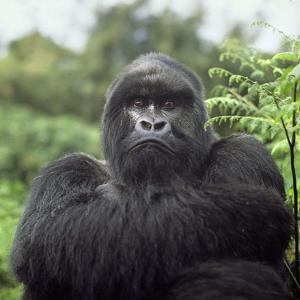 Ape: Mountain Gorilla Silverback Male by Adrian Warren