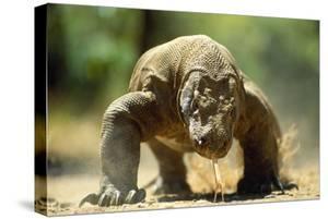 Komodo Dragon by Adrian Warren
