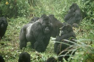 Mountain Gorilla Male Silverback by Adrian Warren