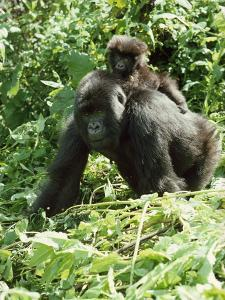 Mountain Gorilla with Baby on Back by Adrian Warren