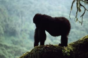 Mountain Gorilla by Adrian Warren