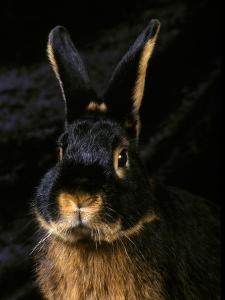 Black and Tan Domestic Rabbit by Adriano Bacchella