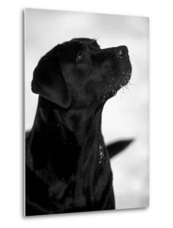 Black Labrador Retriever Looking Up