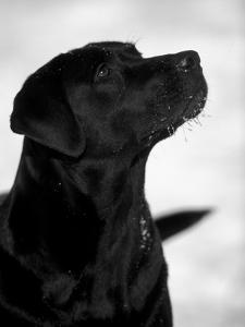 Black Labrador Retriever Looking Up by Adriano Bacchella