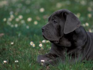 Black Neopolitan Mastiff Puppy Lying in Grass by Adriano Bacchella