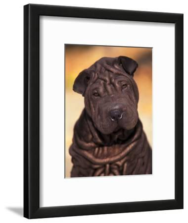 Black Shar Pei Puppy Portrait Showing Wrinkles Face and Chest