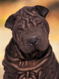 Black Shar Pei Puppy Portrait Showing Wrinkles Face and Chest by Adriano Bacchella