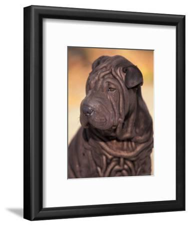 Black Shar Pei Puppy Portrait Showing Wrinkles on the Face and Chest