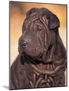 Black Shar Pei Puppy Portrait Showing Wrinkles on the Face and Chest by Adriano Bacchella
