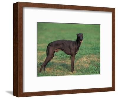 Black Whippet Standing in Field