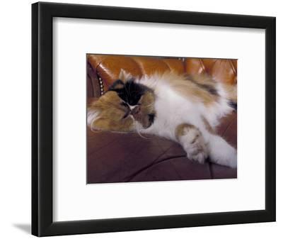 Black, White and Cream Mackerel Tabby Persian Cat Resting in Armchair