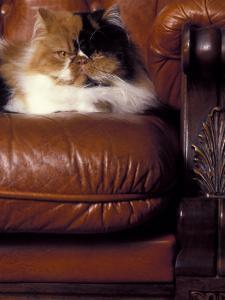 Beautiful Persian Cat artwork for sale, Posters and Prints
