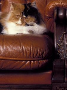 Black, White and Cream Mackerel Tabby Persian Cat Resting in Armchair by Adriano Bacchella