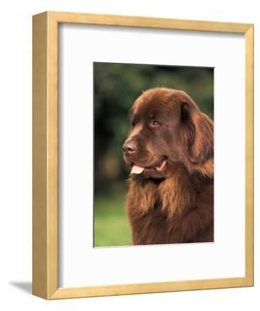 Brown Newfoundland Portrait