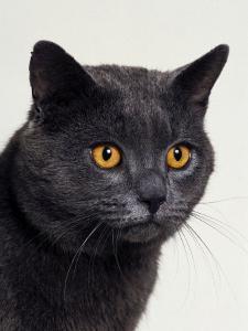Certosina - Chartreux Cat, Portrait by Adriano Bacchella