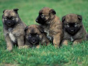 Domestic Dogs, Belgian Malinois / Shepherd Dog Puppies Sitting / Lying Together by Adriano Bacchella